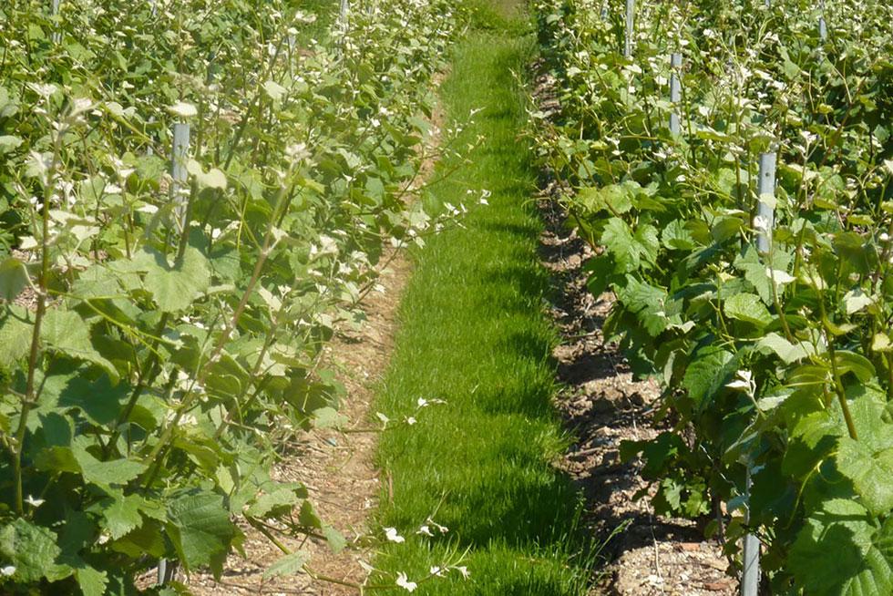 couvert végétal entre les rangs de vigne